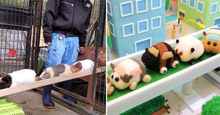 影/《天竺鼠車車》是真的 動物園天竺鼠「橋上大塞車」傻萌跑起來!