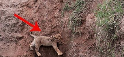 小獅子被困在懸崖邊。後來獅子媽媽決定做的事情真的太偉大了...