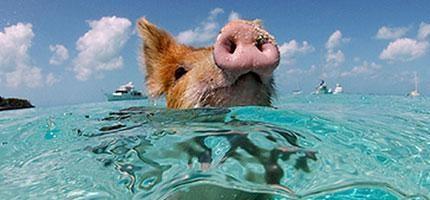 巴哈馬豬島