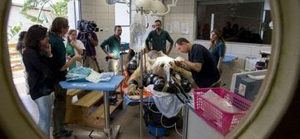 250公斤的熊做手術