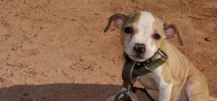 timmy-cooper是一隻被拯救的比特犬