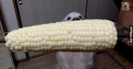 黃金獵犬吃玉米