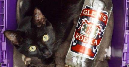 貓咪被伏特加救了