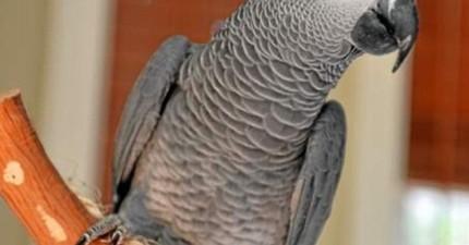 說西班牙語的鸚鵡