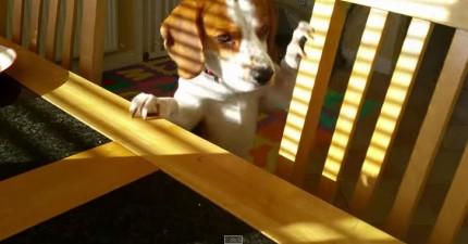 狗狗拿最喜歡的玩具想要交換人類早餐
