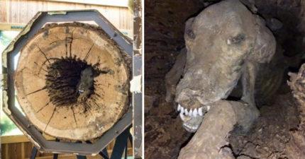 伐木工人砍樹一半驚見「狗狗木乃伊」嚇死!「被困50年」原因很心酸