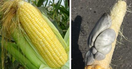 他剝開巨大玉米驚見「灰白色貝殼」噁到爆 網:那是松露!