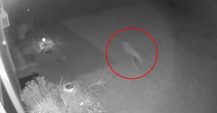 影/家門前出現絕種生物?屋主看監視器「狂奔猛禽」嚇愣:是小恐龍