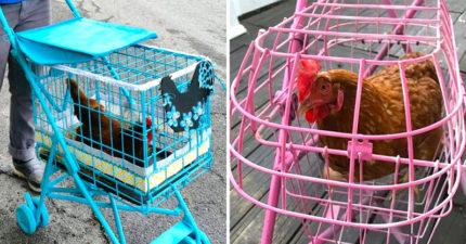 「寵物雞」超夯!廠商開發「雞專屬嬰兒車」:出門遛雞囉