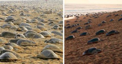 沙灘終於沒遊客了!幾萬隻海龜「上岸產卵」超震撼:變移動城堡